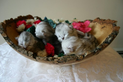 baby-cats-5_230631670