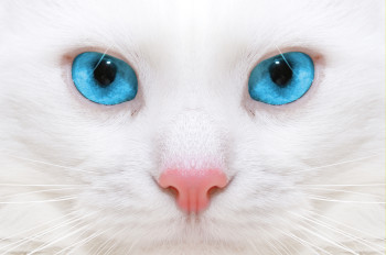 Animals___Cats_White_cat_with_blue_eyes_close_up_044411_
